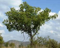 umphafa tree (zizyphus mucronata) used in Zulu culture